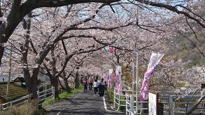 2019年4月5日(金)本日、井原堤の桜が満開を迎えました!!.jpg