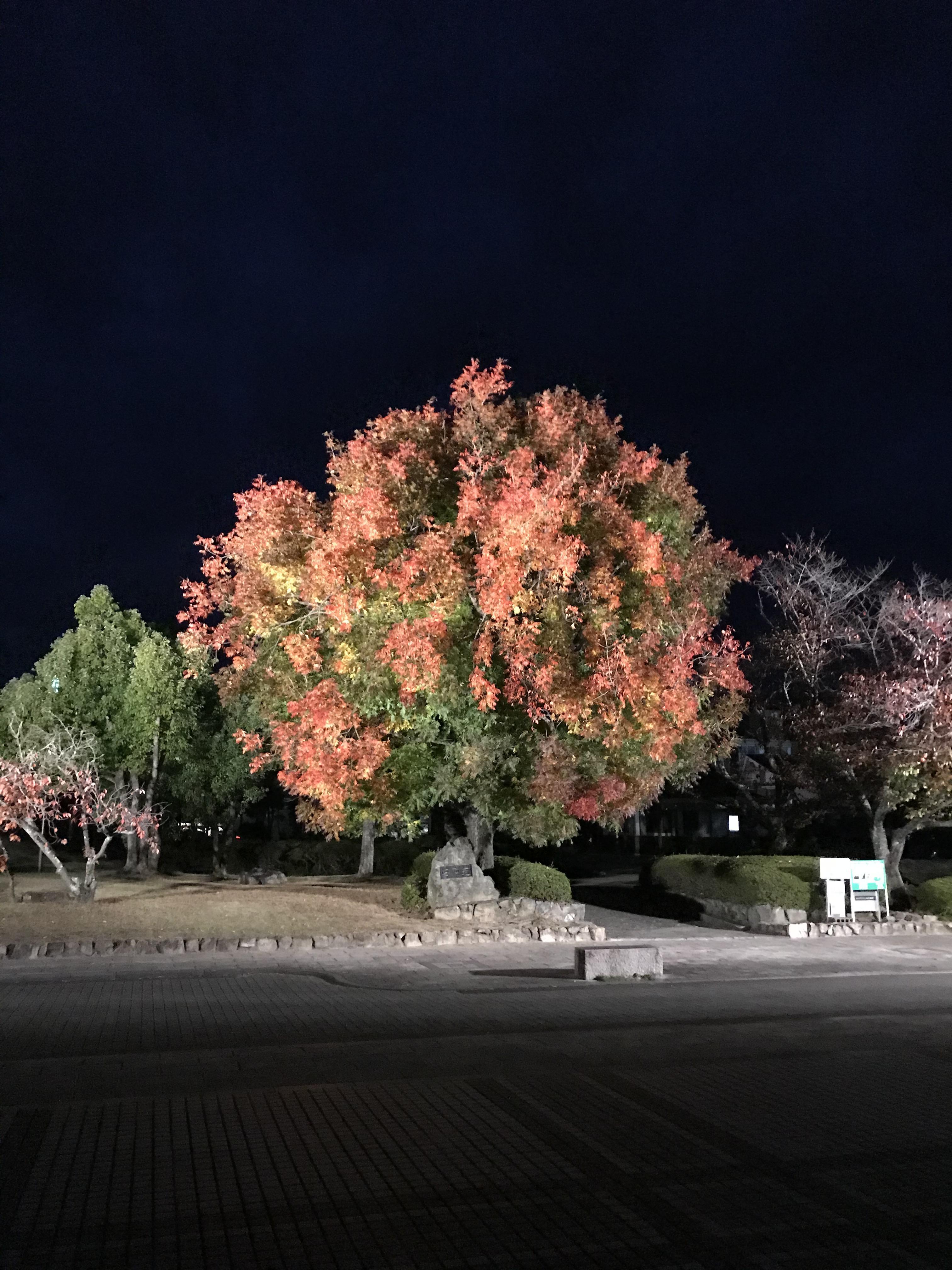 2020年10月25日(日)~ 田中苑 櫂の木のライトアップ
